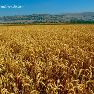 KARLO PAPIĆ: Šaku žuta žita